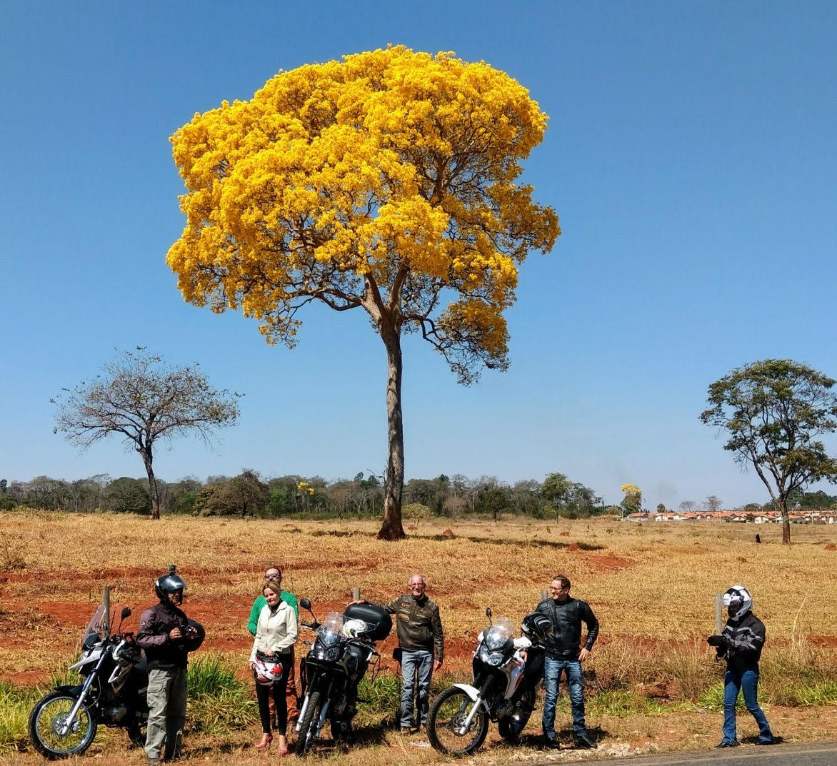 A magnificent blossoming Ipê amarelo (Tabebuia alba), at the surroundings of Brazabrantes - GO,morning of the 20th of August, 2017. Photo taken by my wife Theresa.